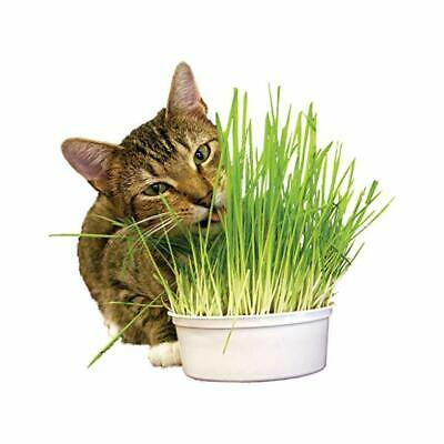 Herbe A Chat Catnip Nepeta Cataria 3200 Graines De Cataire Plantes Aromatiques