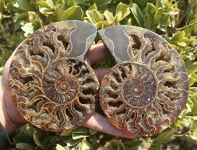 Natural Rainbow Pair Slices Polished Split Chrysanthemum Fossil Snail 600g