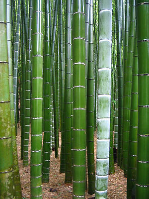 15 graines de BAMBOU GEANT MOSO (Phyllostachys Pubescens)Y36 MOSO BAMBOO SEEDS