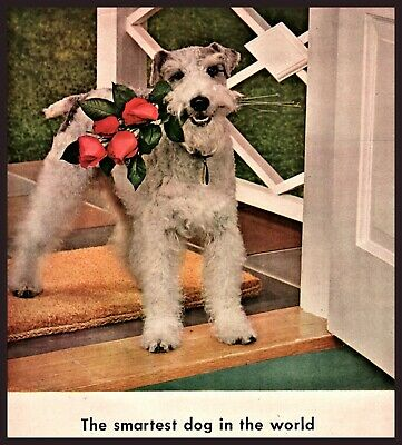 1943 WIRE FOX TERRIER Photo Four Roses Vintage Print Whiskey Bar Decor AD