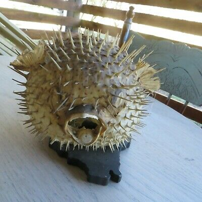 Old Puffer Fish Taxidermi Home Made Lamp 27/23/19 Cm
