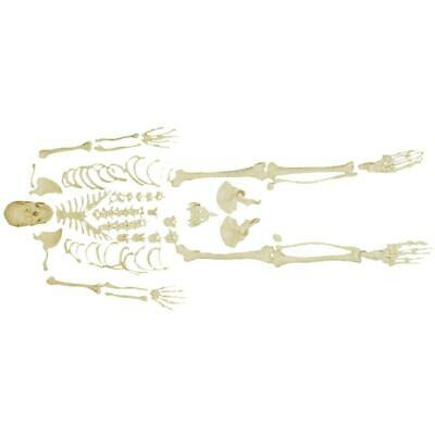 66fit™ Disarticulated Human Skeleton With Skull - Medical Training Aid