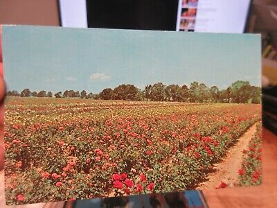 Vintage Old TEXAS Postcard Tyler Rose Garden Fields Flower Farm Beds Red Pink