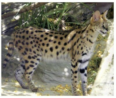 Postcard -  Animals - Serval