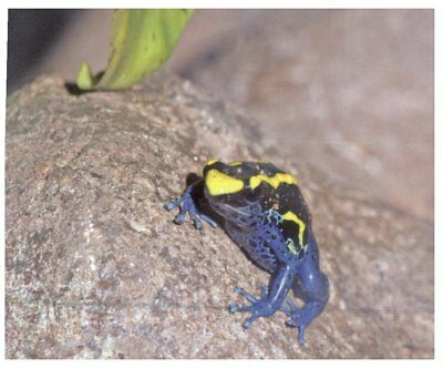 Postcard -  Animals - Dyeing Poison Arrow Frog - Blyth's Giant Frog