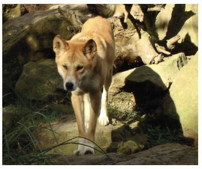 Postcard -  Animals - Dingo - African Wild Dog