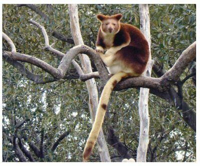 Postcard -  Animals - Goodfelow's Tree Kangaroo - Matchie's Tree Kangaroo