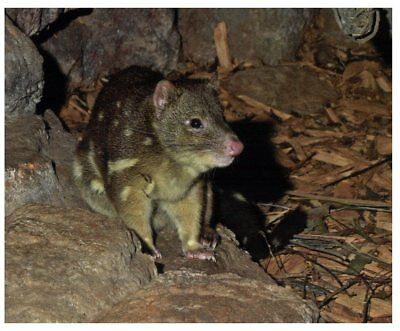 Postcard -  Animals - Tiger Quoll - Eastern Quoll
