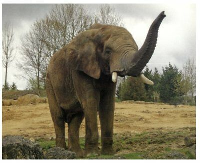 Postcard -  Animals - African Bush Elephant and Sumatran Elephant