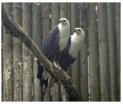 Postcard -  Bird - African Fish Eagle - Black Chested Buzzard Eagle