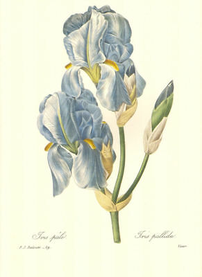 Vintage Print by Redoute ~ 10 by 13 inches ~ Pale Blue Iris #059