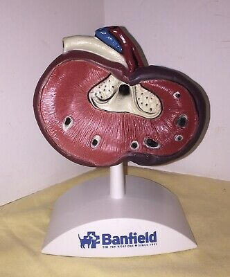 Anatomical Model Medical Veterinary Anatomy Display Dog ?  Kidney