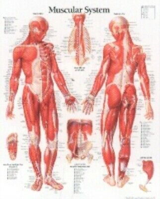 Muscular System with Male Figure Laminated Poster (Wall Chart), S...