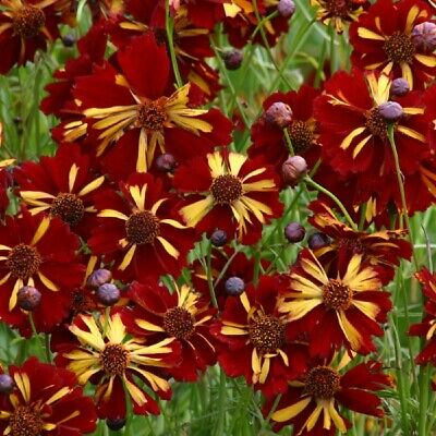 Coreopsis - Roulette - 400 Seeds