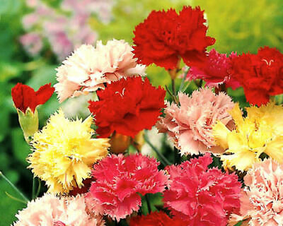 Carnation Mix Chabaud - 50 Semillas-Dianthus Caryophyllus-Flor