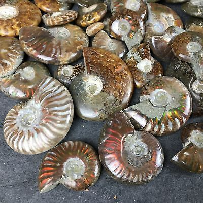 2.2LB natural whole ammonite fossil conch specimen quartz crystal healing H2005