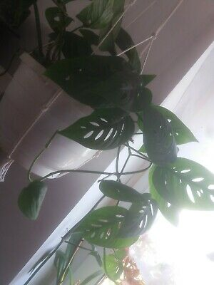 Jeune plant de monstera monkey plante d interieur
