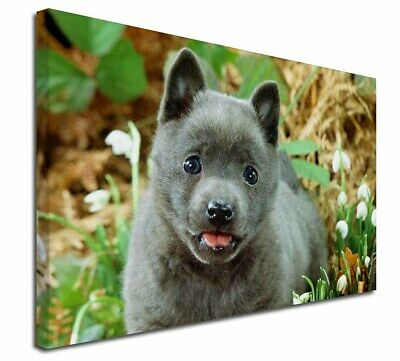 """Blue Schipperke Dog 30""""x20"""" Wall Art Canvas, Extra Large Picture P, AD-BS1-C3020"""