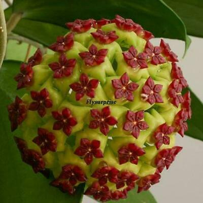 30 Hoya carnosa semillas de flores Bonsai potted Ball Orchid Flower Seeds Home T