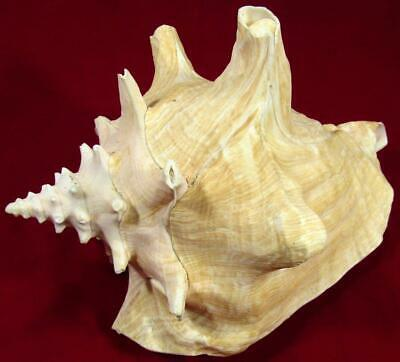 """Pink Conch Sea Shell Large 20.5 cm / 8"""""""