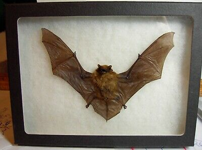 Taxidermy Tylonycteris pachypus (Club-footed Bat)  Framed In Flying Position