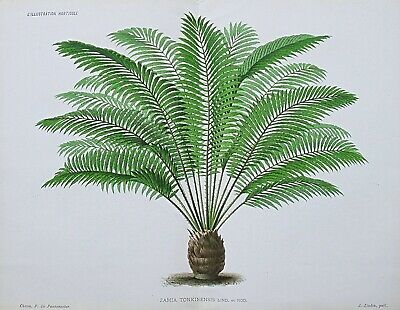 1885 ZAMIA TONKINENSIS Miniature Coconut Palm Antique Botanical Print LINDEN