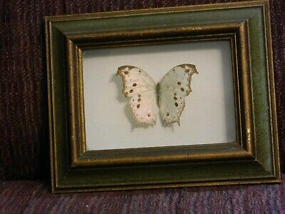 Framed Salamis aethiops African Butterfly