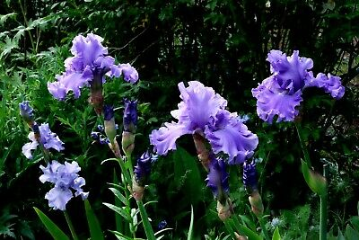 1x Iris germanica Delta Blues Cayeux Irises Tall Bearded HUGE FLOWERS - XL GROUP