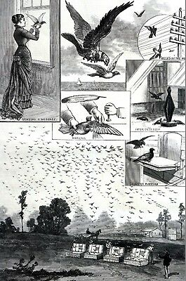 Homing Pigeons 1881 TRAINING RACING MARKING MESSAGES BIRD COOP Antique Art Print