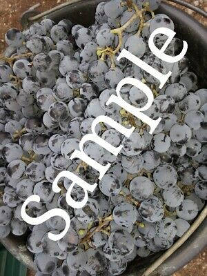Digital Photo Image Wallpaper Own Picture Red Grapes