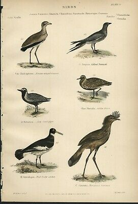 Sand Piper; Plover; OysterCatcher + 1859 Hand Colored Natural History Bird Print