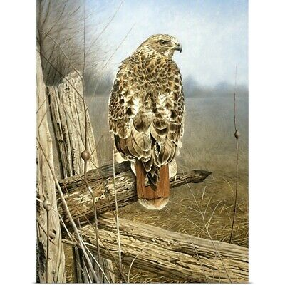 RED TAILED HAWK GLOSSY POSTER PICTURE PHOTO PRINT birds of prey american 4893