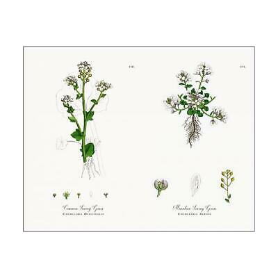 "15099685 10""x8"" (25x20cm) Print Common Scurvy Grass, Cochlearia O..."