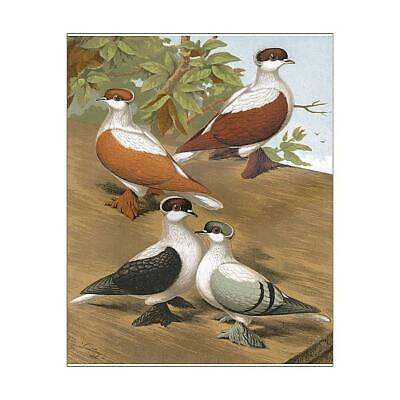 "14225480 10""x8"" (25x20cm) Print Pigeons - Varieties of Swallows,..."