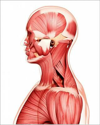 "9269179 10""x8"" (25x20cm) Print of Human musculature, artwork"
