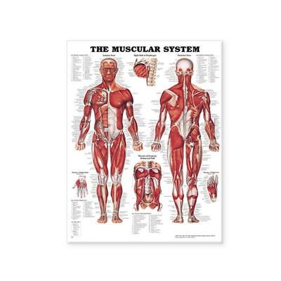 The Muscular System Anatomical Chart by Anatomical Chart Company (prepared fo...