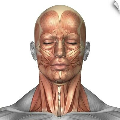 Wall Decal entitled Anatomy of human face and neck muscles, front view