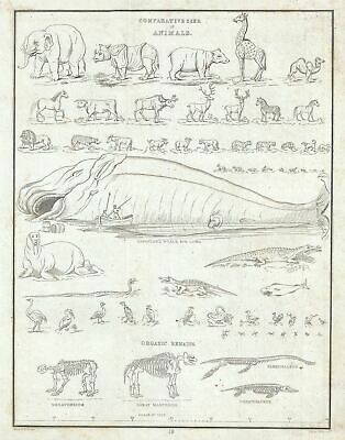 1835 Bradford Chart of the Comparative Sizes of the World's Animals