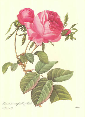 """Group of 4 Redoute Vintage Botanical Prints (10"""" x 13"""") Lot 4169~Free Shipping!"""