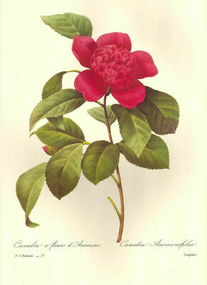 1991 Vintage REDOUTE FLOWER #88 CARNATION PINK WHITE Color Art Print Lithograph