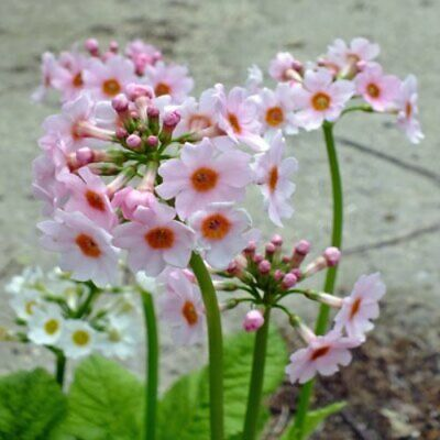 Primula 'Apple Blossom' x100 fresh 2019 seeds - Hardy Country Cottage Perennial