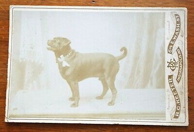 Antique PIT BULL DOG CABINET CARD PHOTO Studio Photograph KEETER Indianapolis IN