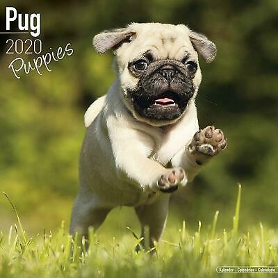 Pug Puppies 2020 Official Square Wall Calendar