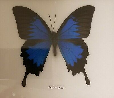 Real  Mounted Blue Butterfly Papilio Ulysses  In Frame Taxidermy Insect