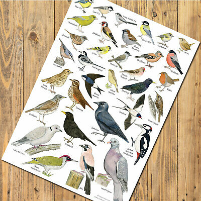 A3 British Garden Birds Identification Chart Wildlife Poster ideal for framing