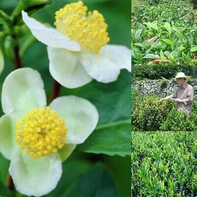 10pcs Camellia Sinensis Green Tea Seeds Rare Fresh Fragrant Bonsai Plants SI