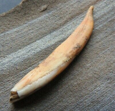 """Amulet """"Tooth of the Beast"""" from the Viking settlement 10-11 AD"""