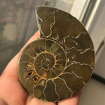 79g Natural Crystal ammonite fossil conch specimen healing S11
