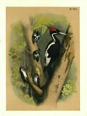 Ivory Billed Woodpecker And Downy Woodpecker Search Trees Woods For Insects Bugs