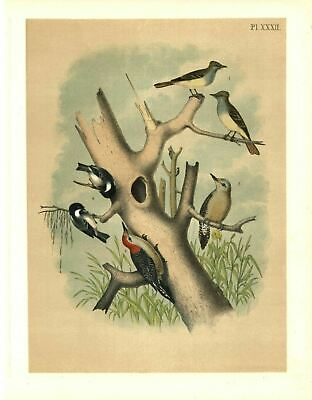 THE GREAT CRESTED FLY-CATCHER and THE RED BELLIED WOODPECKER and CHICKADEE
